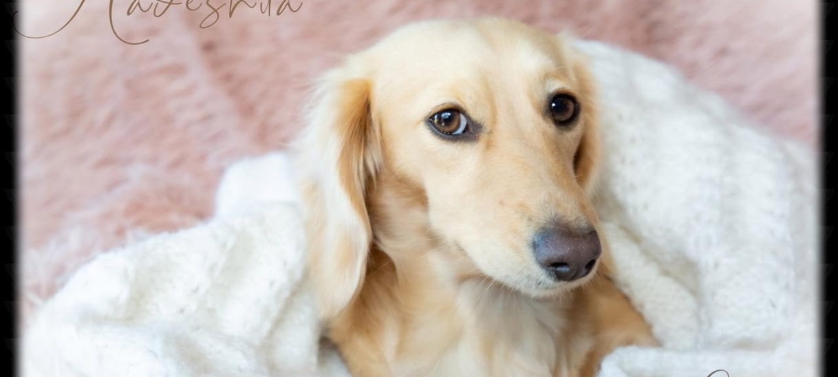 About the breed – LonghairDachshunds