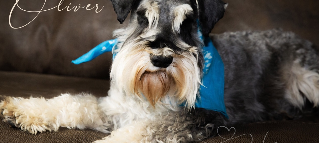 About the breed – Miniature Schnauzer