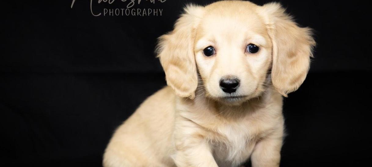 Longhair Dachshund puppies