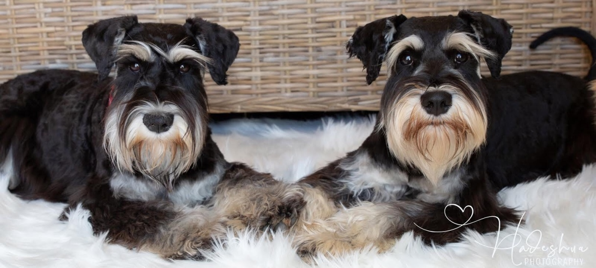 Our Mini Schnauzers